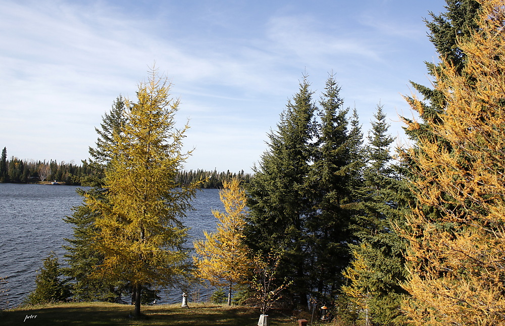 photoblog image Tamaracks in Autumn