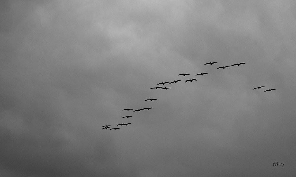 photoblog image A Flock of Pelicans Coming in to Fish