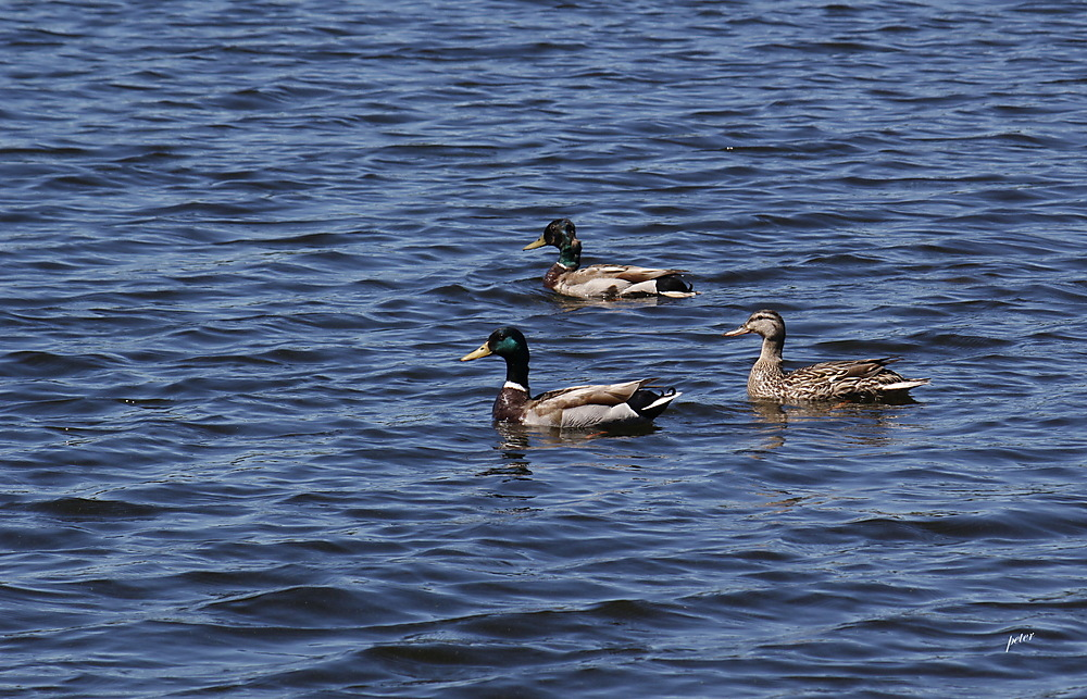 photoblog image This Female Mallard With a Royal Escort