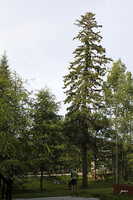 photoblog image Cutting Down a Dangerous 55 foot Black Spruce