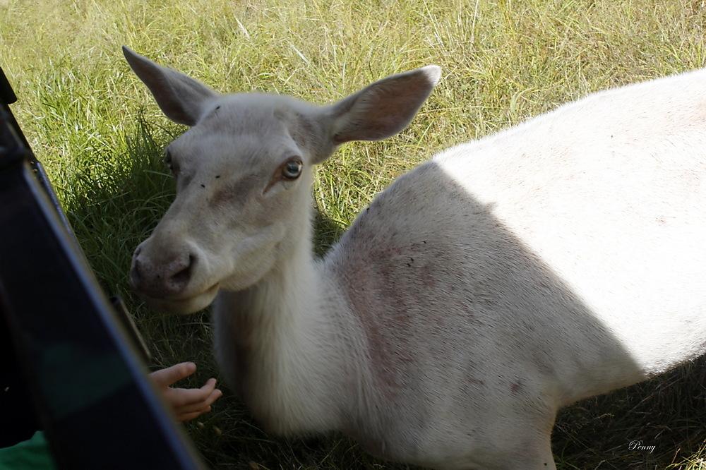 photoblog image White Female Elk